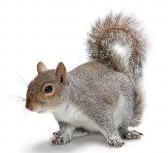 Squirrel removal leeds