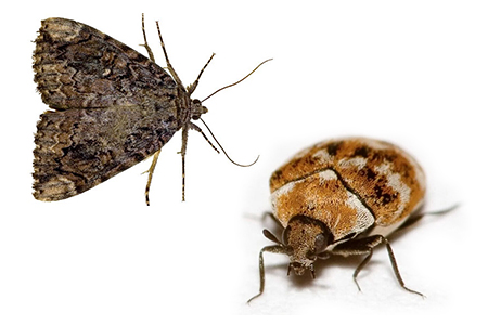 Carpet Beatle and Moth Removal Leeds