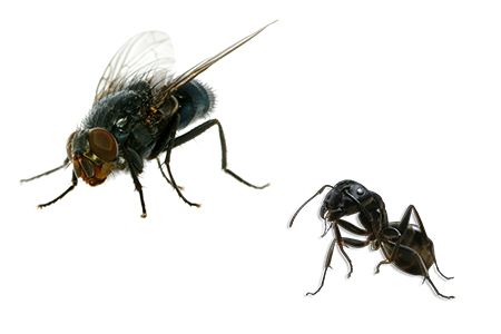 Flies and Ants Removal